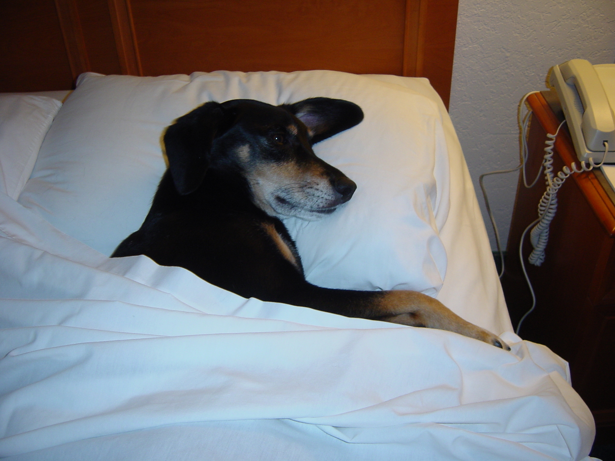 dog in bed picture